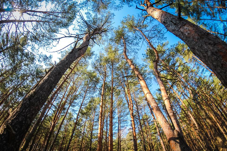 Pine, Forest, Coniferous, Summer, Bright, Nature, Trees