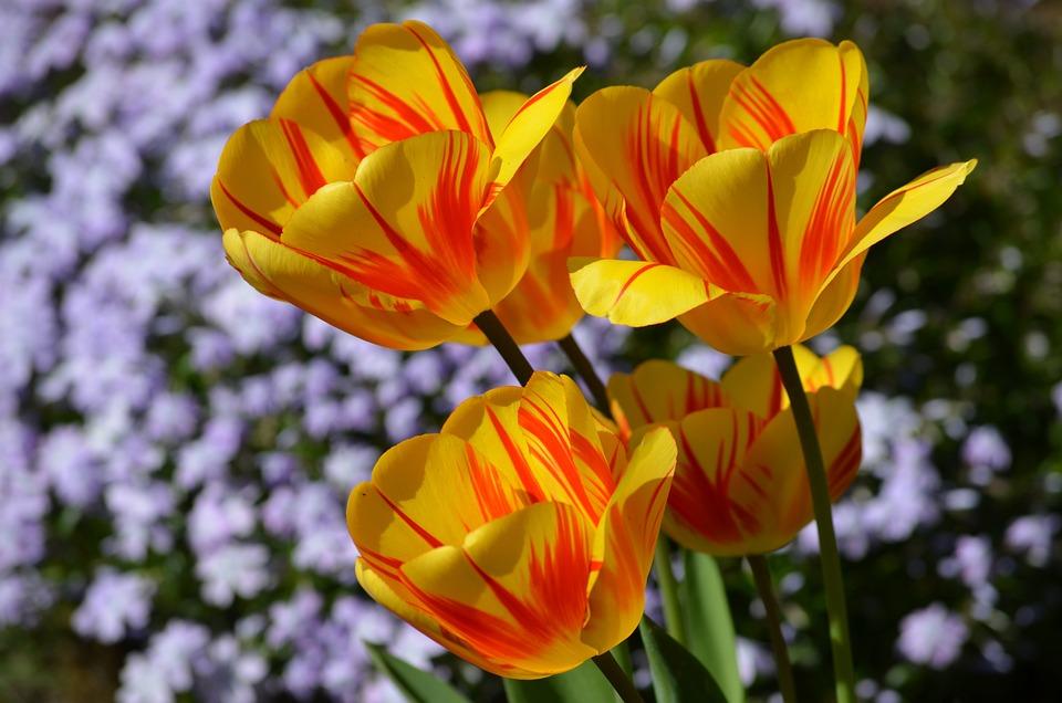 Tulips, Yellow, Orange, Bright, Garden, Spring Flower