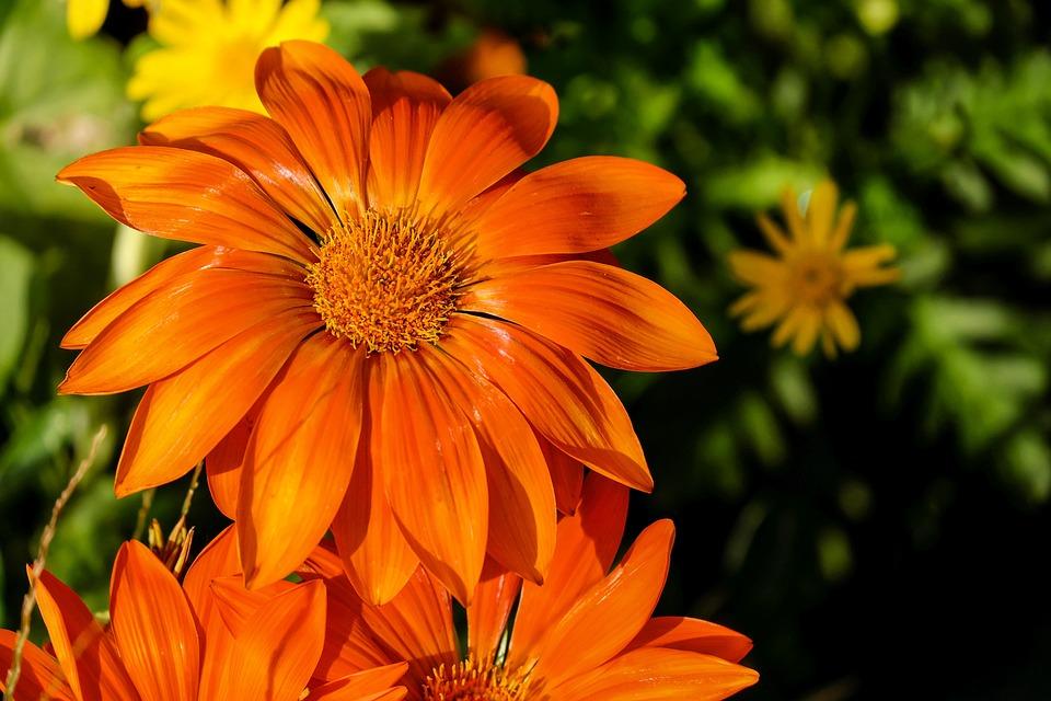Gazania, Flower, Flowers, Bright, Orange
