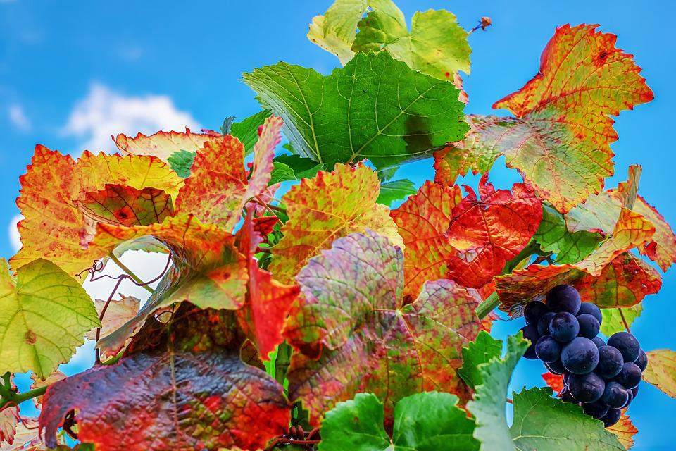 Vine Leaves, Leaves, Bright, Fall Foliage, Emerge