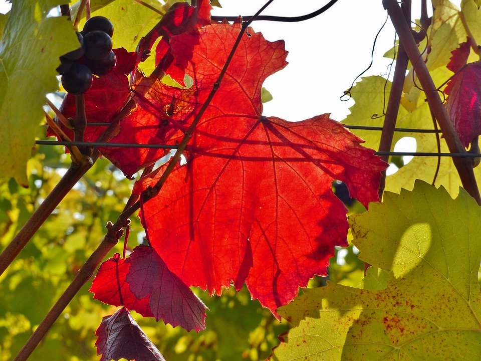 Vine, Autumn, Red, Golden Autumn, Leaves, Bright