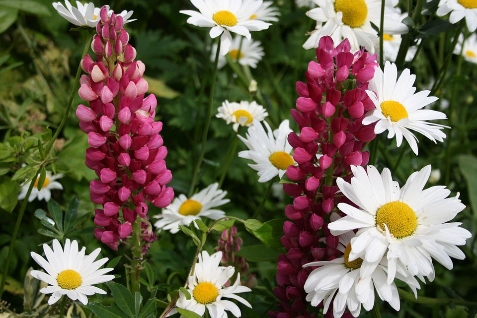 Daisies, Lupins, Colorful, Color, Flowers, Bright