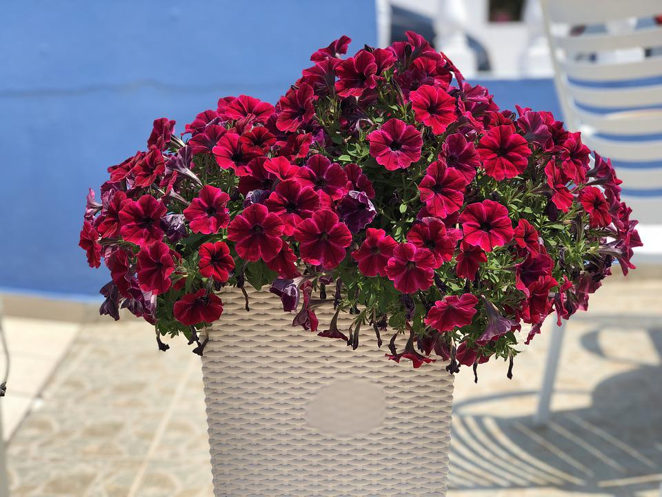 Petunia, Flowers, Bright, Basket