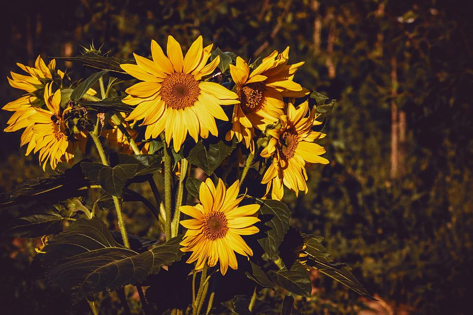 Sunflower, Nature, Flora, Flower, Petals, Plant, Bright