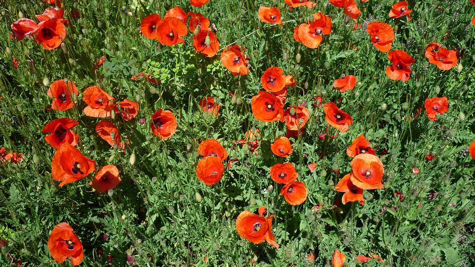 Klatschmohn, Bright Red Flowers, German Plant, Arable