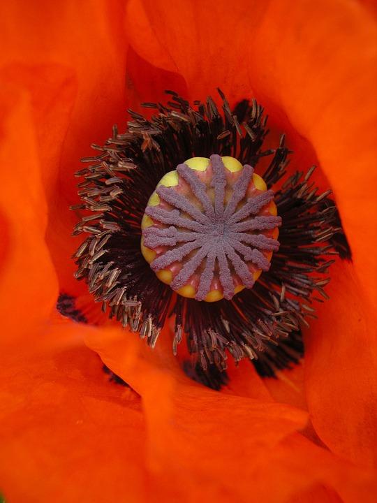 Poppy, Bright Red Poppy