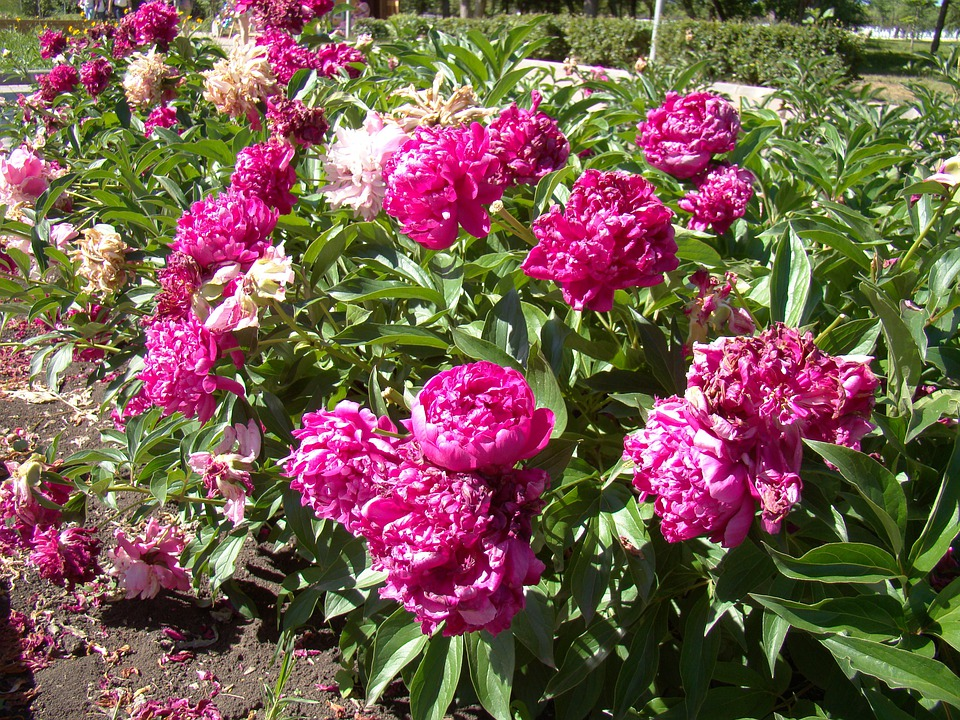 Peonies, Red, Flower Bed, Summer, Sun, Bright