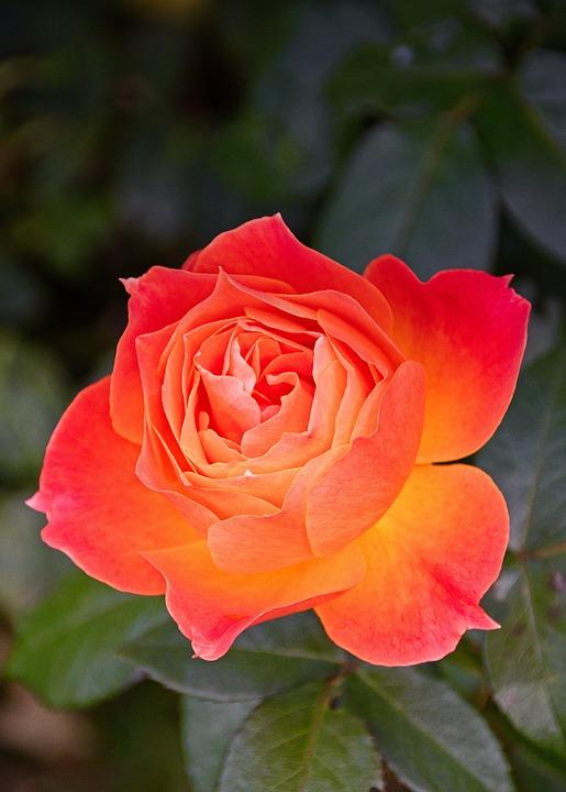 Rose, Blossom, Bloom, Bright, Romantic, Orange
