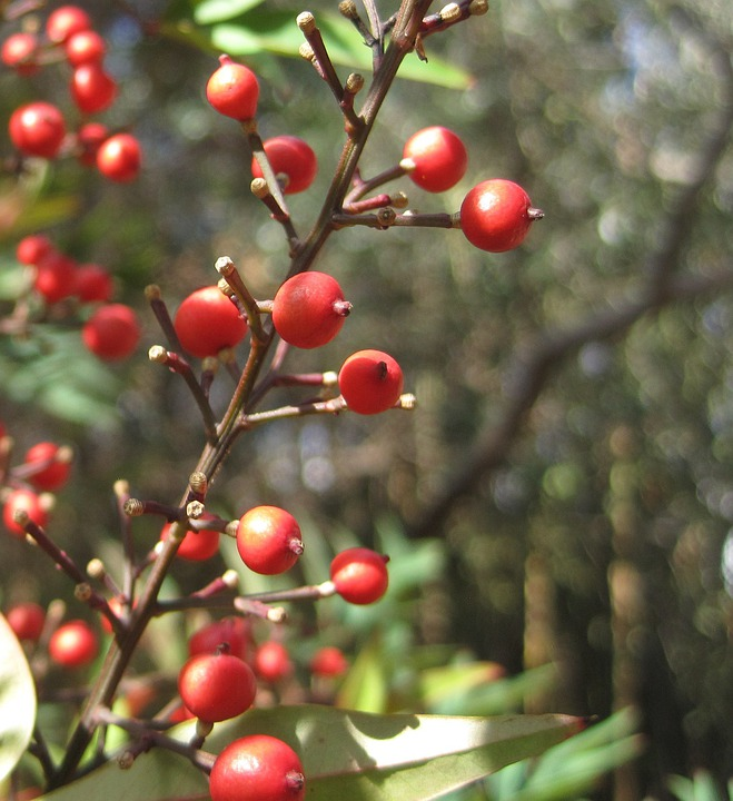 Berries, Red, Round, Bright, Stalks, Garden