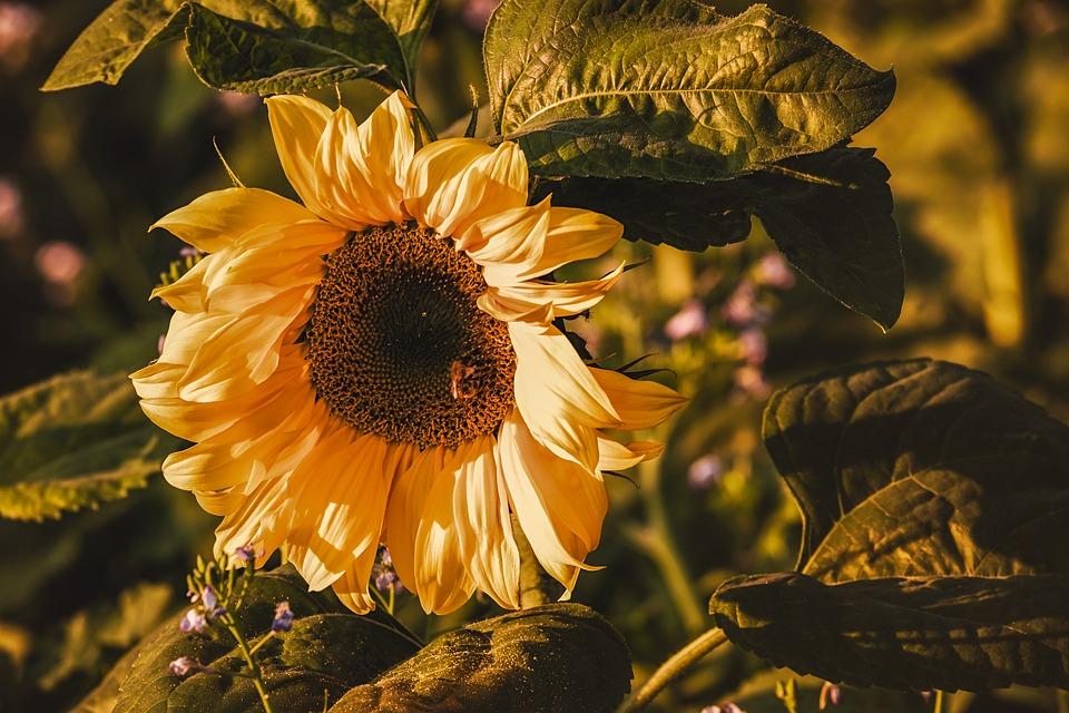 Sunflower, Pollen, Flower, Helianthus Annuus, Bright