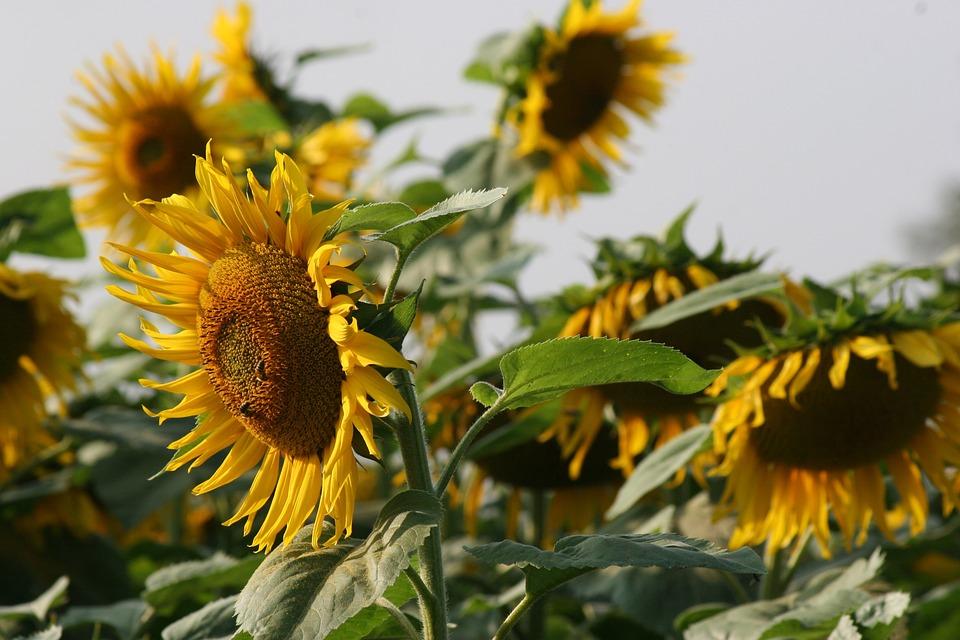 Sunflower, Blossom, Bloom, Bright, Nature, Landscape