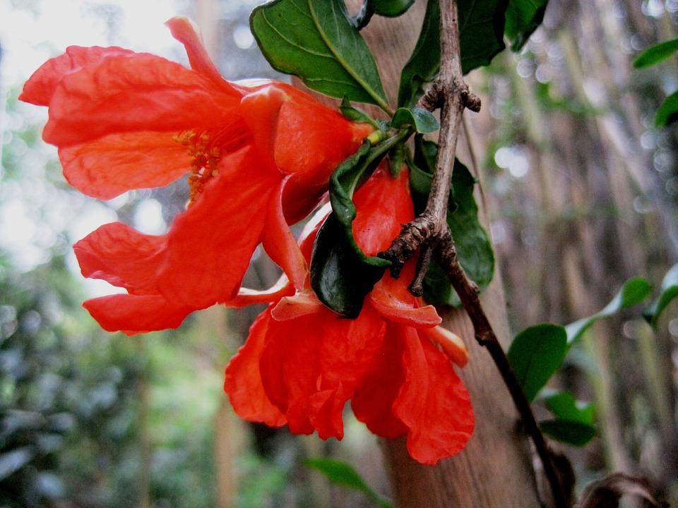 Pomegranate, Flowers, Twin, Orange, Bright, Garden