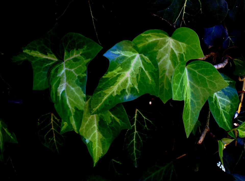 Leaves, Ivy, Green, Bright, Veined, White, Branched