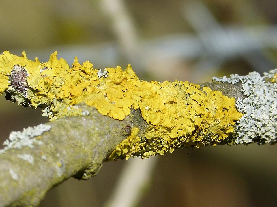 Lichen, Bright Yellow, Fouling