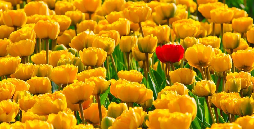 Tulips, Flowers, Yellow, Beautiful, Bright, Background