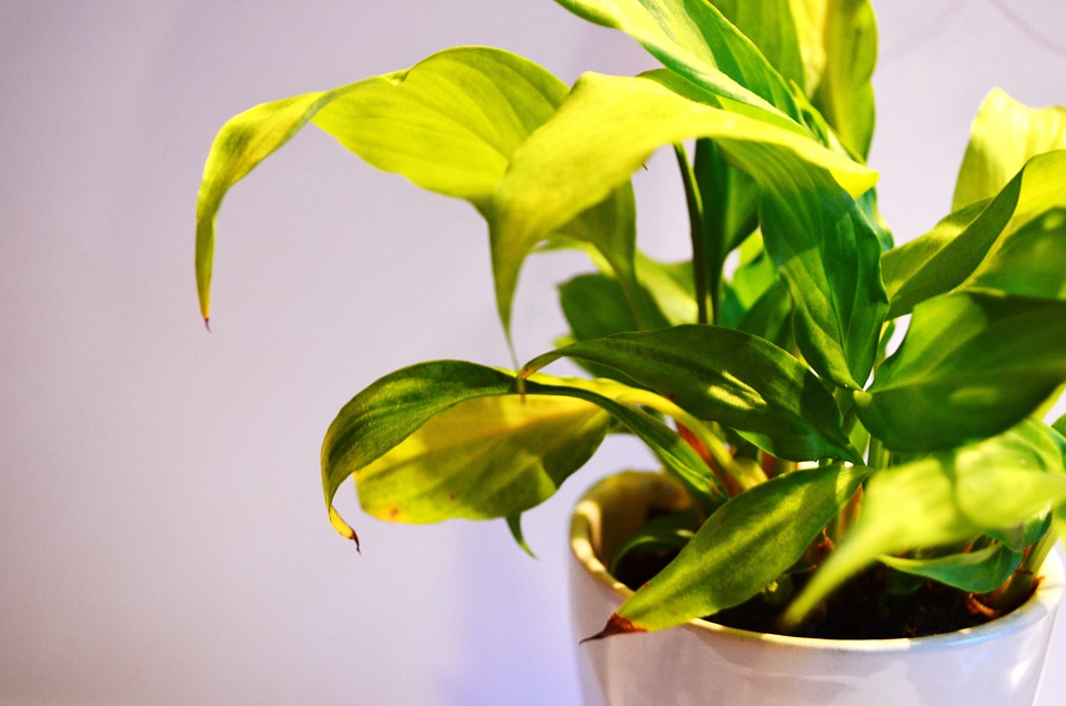 Green, Plants, Leaves, Potted, Sunlight, Brighter, Day