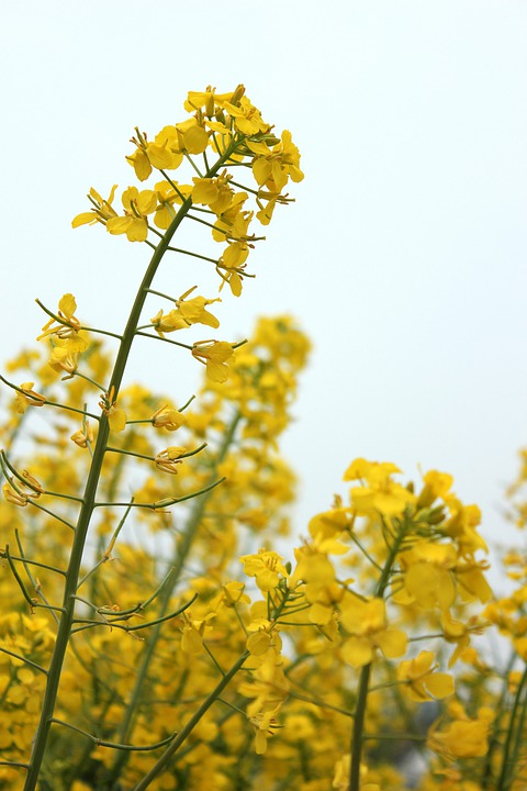 Golden Yellow, Rape, Spring, Flowers, Brilliant, Sky