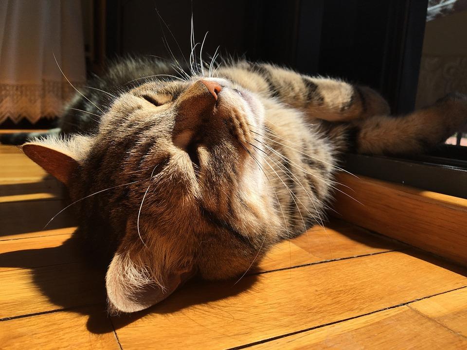 Cat, Brindle, Pet, Feline