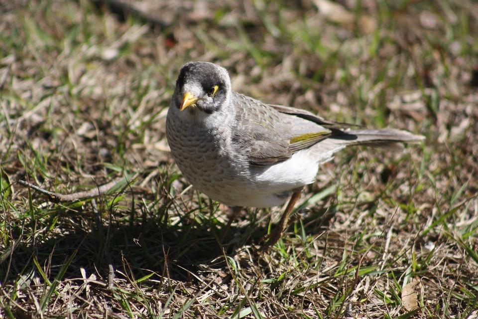 Noisy Miner, Bird, Native, Fauna, Wildlife, Brisbane