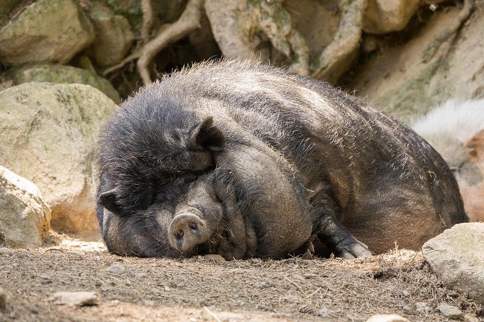 Pot Bellied Pig, Pig, Fat, Tired, Bristles, Animal
