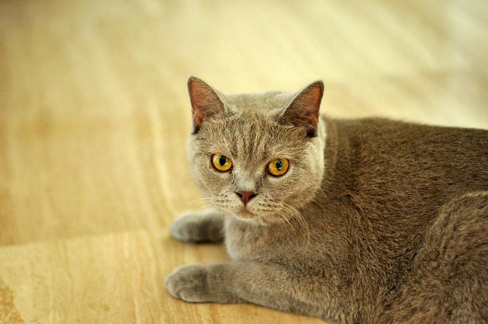 Cat, British Shorthair, Shorthair, British, Domestic