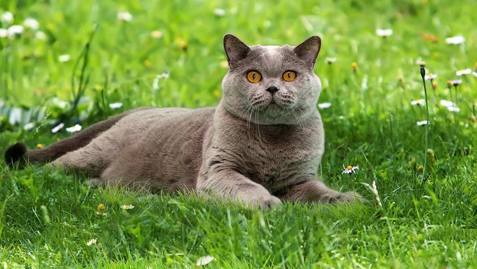 British Blue, Shorthair Cat, Briton, Cat, Home, British