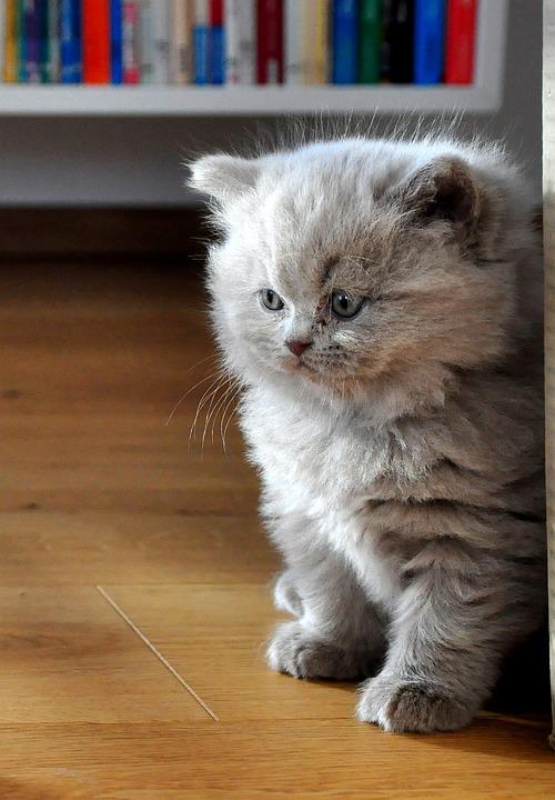 Kittens, Cat Baby, British Longhair, Bkh