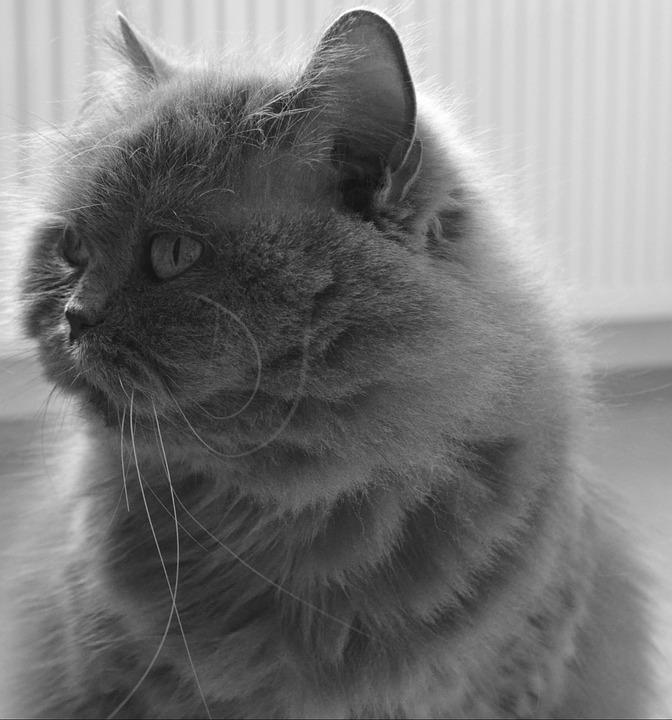 Cat, Adidas, British, British Longhair Cat, Highlander