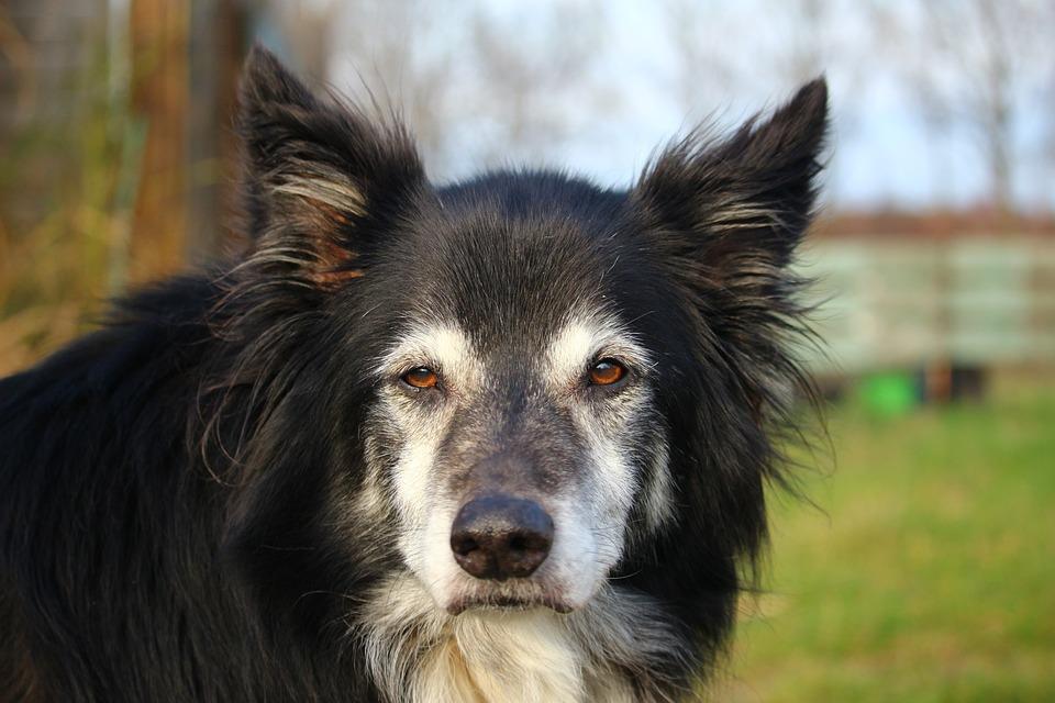 Dog, Border Collie, British Sheepdog, Border