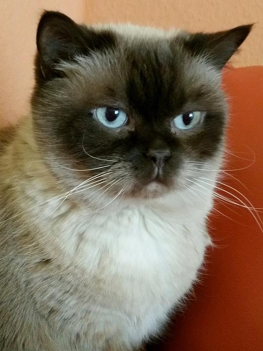Cat, British Shorthair, Siam, Adidas