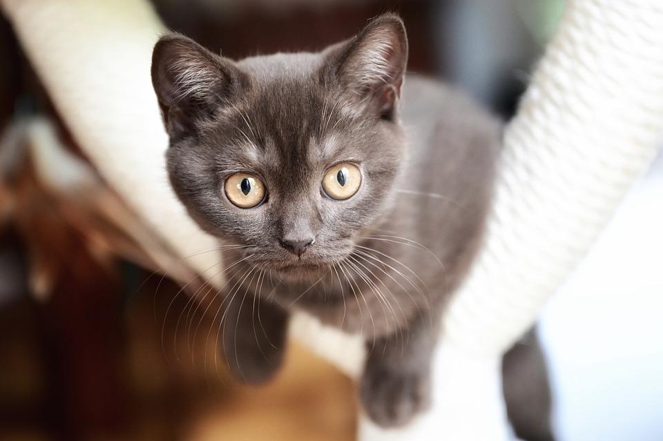 British Shorthair, Cat, Kitten, Animal, Pet