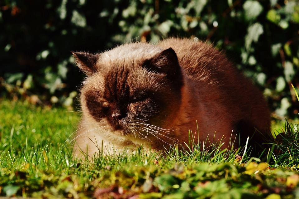 British Shorthair, Cat, Thoroughbred, Mieze, Sweet