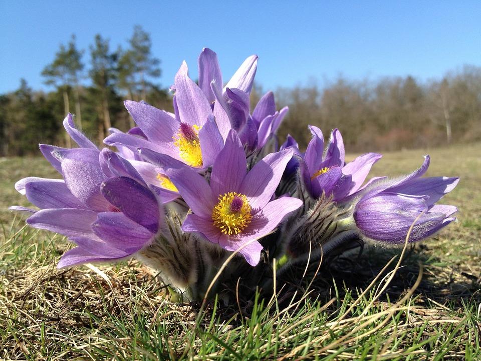 Brno, Czech Republic, Pulsatilla Grandis, Floral