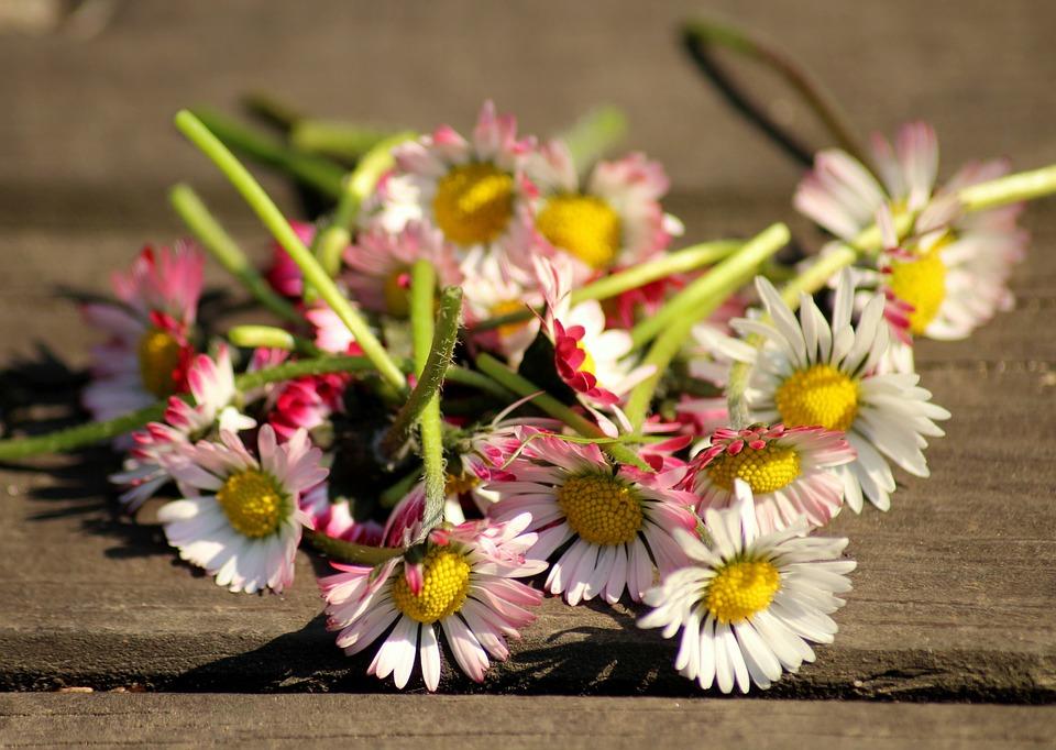 Daisies, Spring, Spring Flowers, White, Pink, Broken