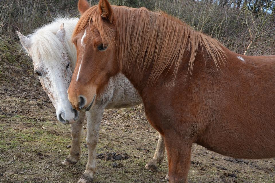 Horses, Mares, Horseback Riding, Broodmare, Pets
