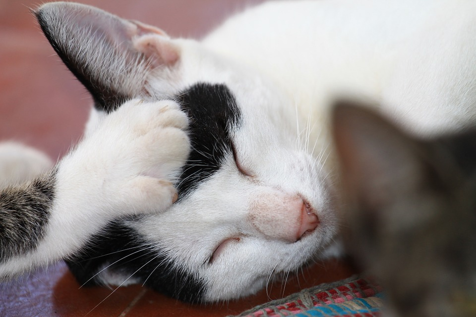 Cats, Brother, Care Feline, Feline, Animal, Sleeping