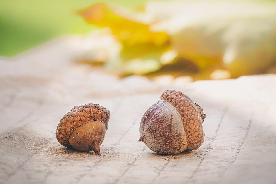 Acorns, Autumn, Leaves, Tree, Oak, Nature, Brown