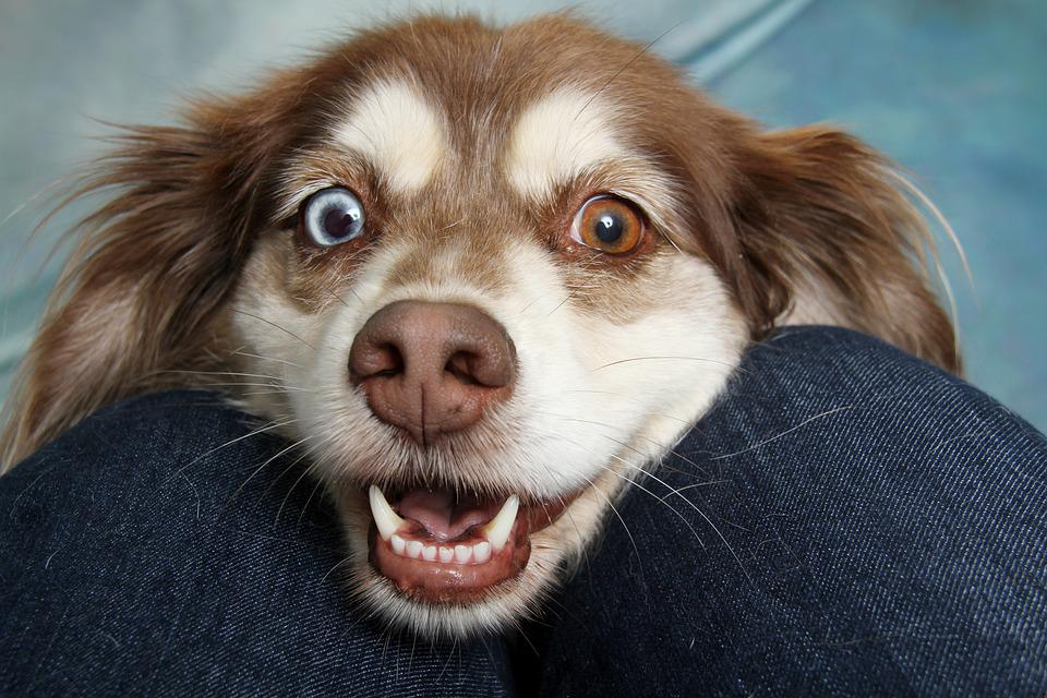 Brown And White Dog, Mixmatched Eyes, Face, Happy, Cute