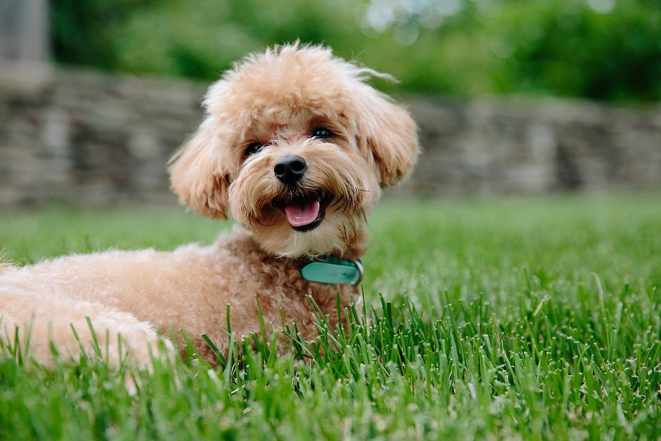 Puppy, Dog, Pet, Animal, Doggy, Poodle, Pup, Brown