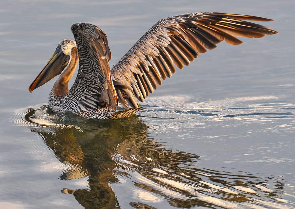 Pelican, Brown, Bird, Wildlife, Nature, Water, Animal
