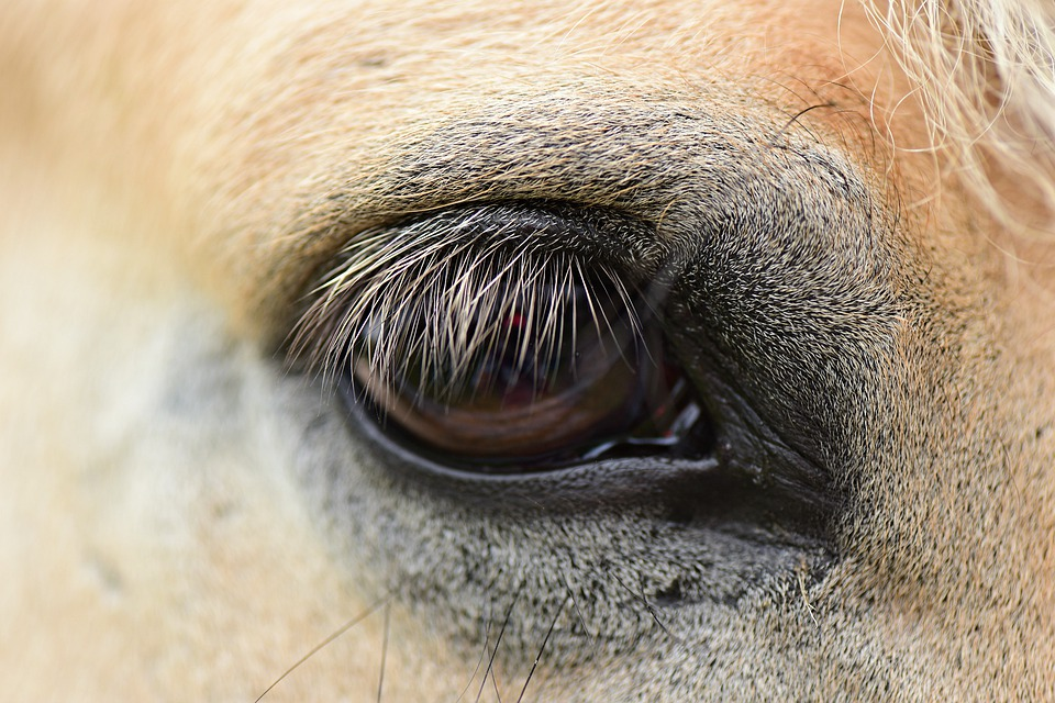Horse Eye, Vision, Sight, Lashes, Animal, Brown Animals