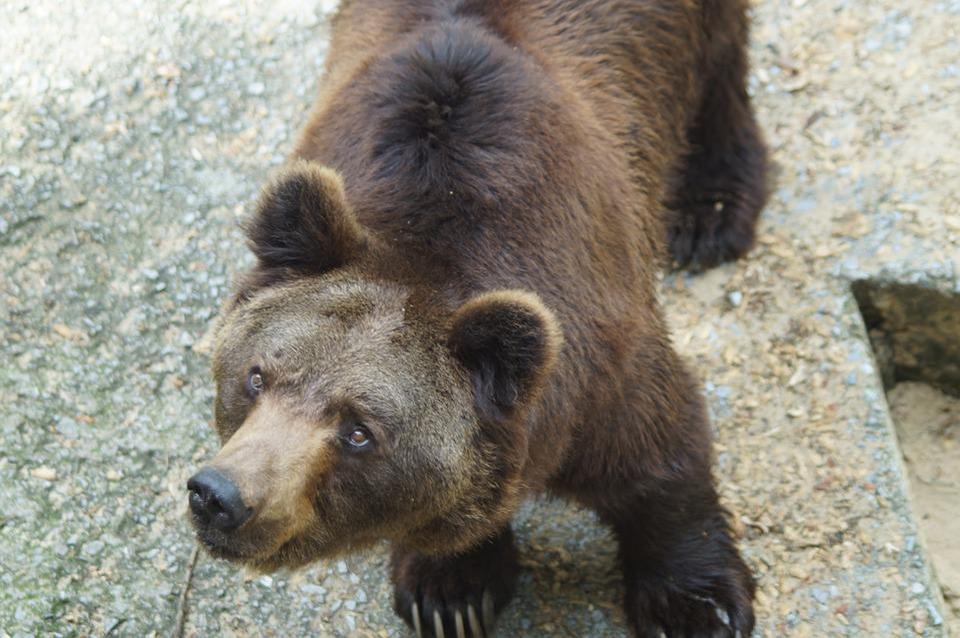 Brown Bear, Bear, Wild Animal, Predator, Animal