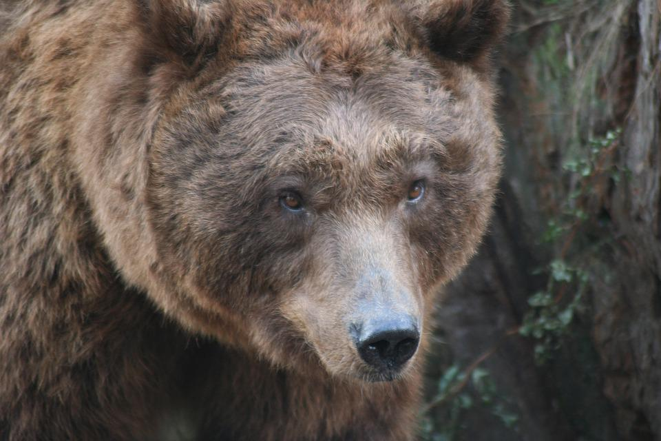 Brown Bear, Animal, Zoo, Animal World, Predator