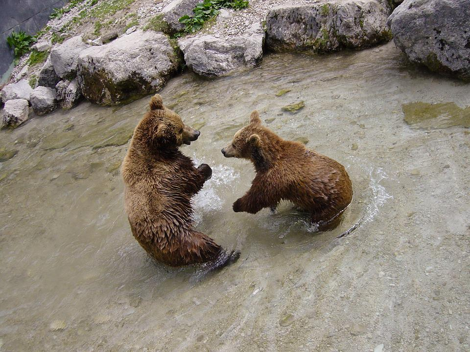 Brown Bears, Bear, Animal, Zoo, Animal World, Snout