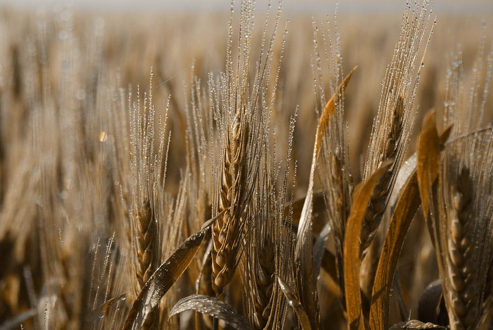 Wheat, Cereal, Straw, Bread, Crop, Brown Bread