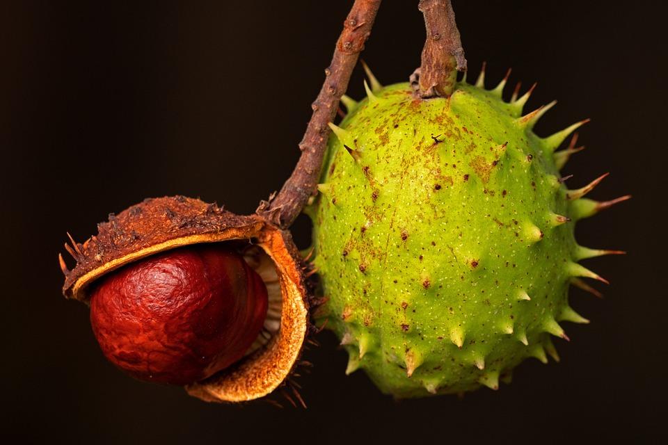 Chestnut, Autumn, Brown, Buckeye, Chestnut Fruit, Plant