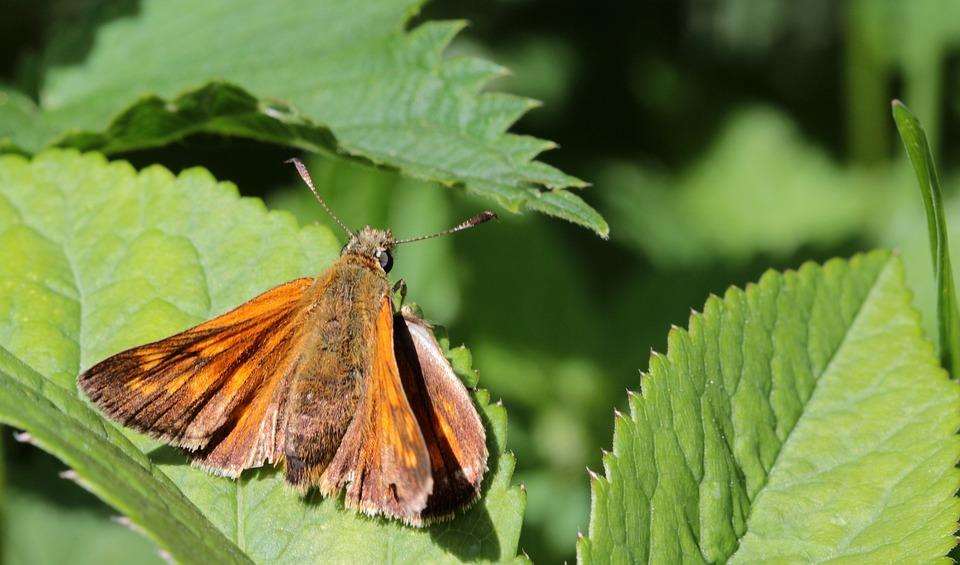 Butterfly, Brown Bulbous Brown Bullhead Falter