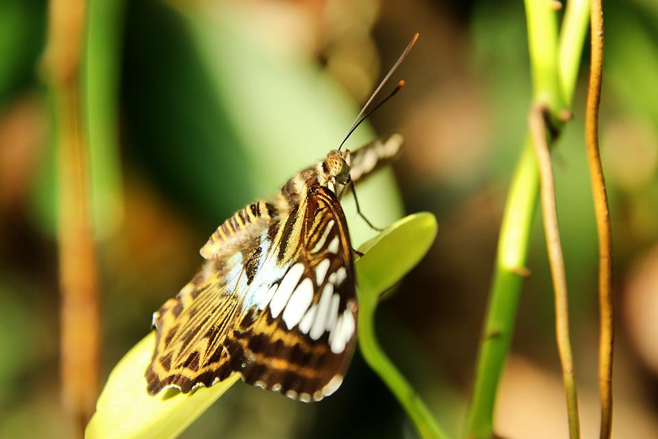 Sailor, Clipper, Butterfly, Brown, Insect, Wing, Yellow