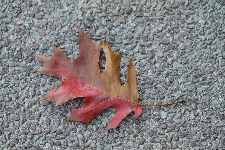Fall Leaf, Colorful, Foliage, Red, Brown, Single