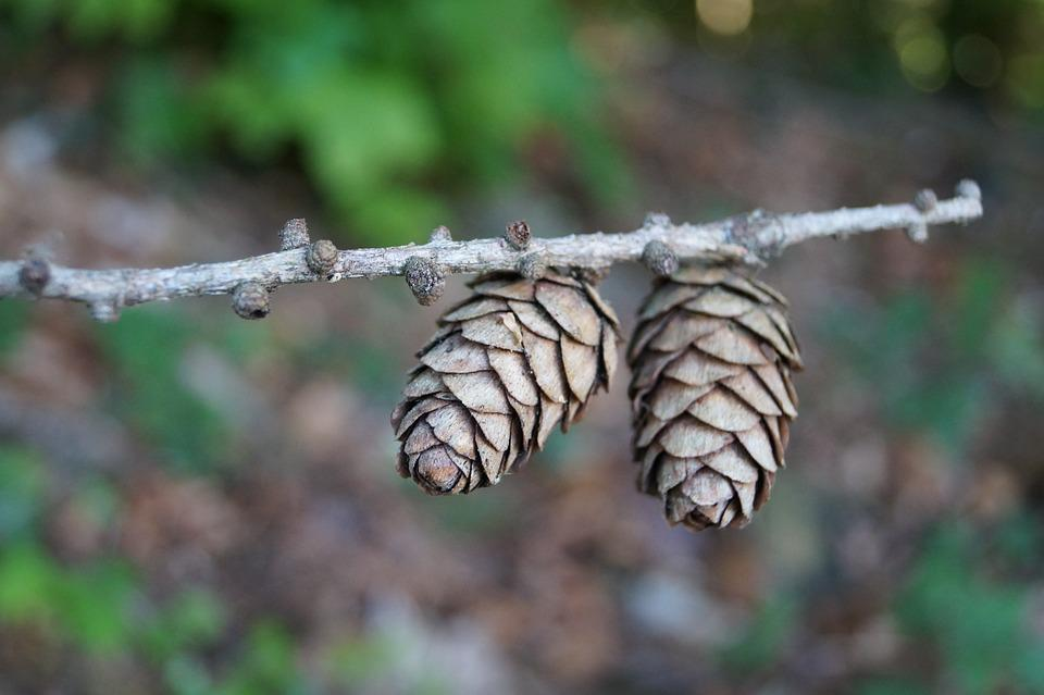 Pine Cones, Spruce, Brown, Tree, Tap, Conifer, Branch